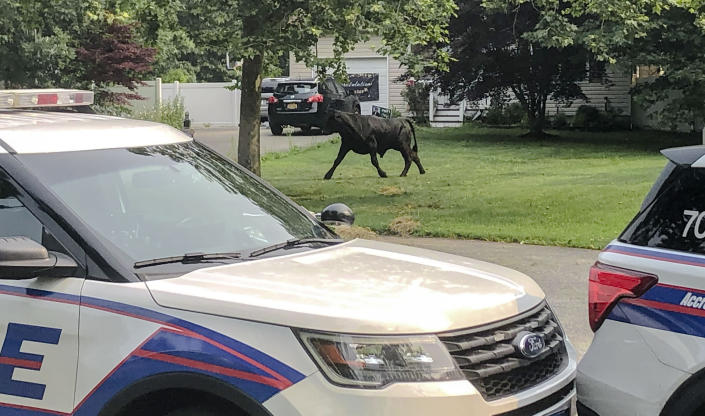 In this provided by Suffolk County, N.Y., Police Department, a bull runs loose along Montgomery Avenue on Tuesday, July 20, 2021, in Mastic, N.Y. The bull has eluded capture for several days on Long Island despite attempts to lure the roaming animal with grain and a cow in heat. (Suffolk County Police Department via AP)