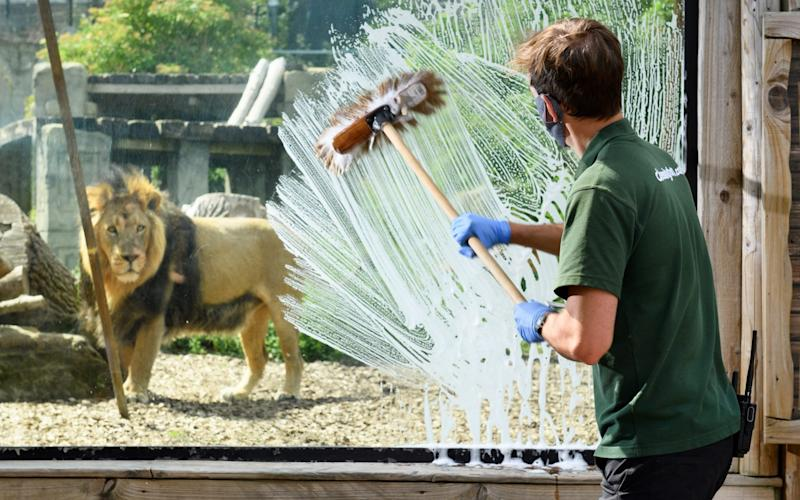 A keeper at Chessington World of Adventures Resort prepares to reopen its Zoo, which will welcome guests back on June 18