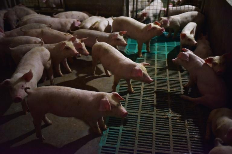 China is home to nearly half of the world's live pig supply