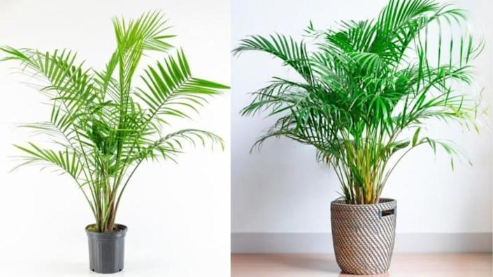 Place this palm in a wide open space so you can watch it bloom to its fully capacity.