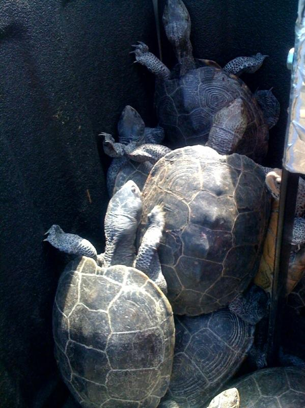 A photo provided by the Port Authority of New York and New Jersey shows captured turtles at New York's Kennedy airport Wednesday, June 29, 2011.  About 150 turtles crawled onto the tarmac at New York's Kennedy airport Wednesday in search of beaches to lay their eggs, delaying dozens of flights, aviation authorities said.  The migration of diamondback terrapin turtles happens every year at Kennedy, which is built on the edge of Jamaica Bay and a federally protected park.    (AP Photo/Port Authority of New York and New Jersey)