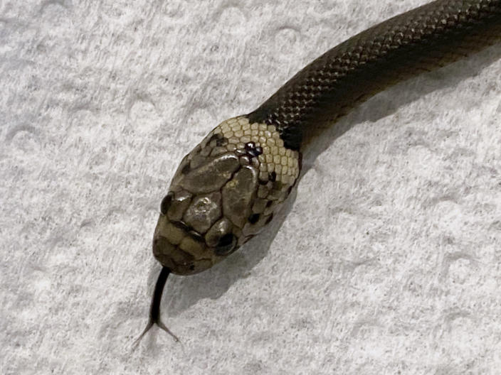 In this photo provided by Wildlife Information, Rescue and Education Service (WIRES), a Pale-headed snake is photographed in Sydney, Thursday, April 15, 2021. This is the venomous snake that authorities say made an 870-kilometer (540-mile) journey to Sydney from a Toowoomba packing plant wrapped in plastic with a pair of baby cos lettuces. (Gary Pattinson/WIRES via AP)