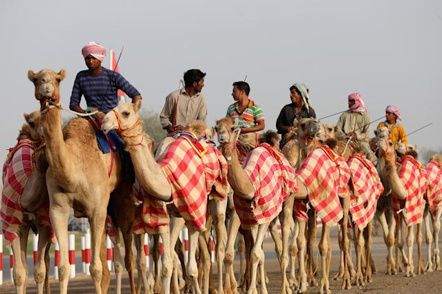 DUBAI, UNITED ARAB EMIRATES - APRIL 16:Camels and handler arrive for racing prior to the start of Al Marmoom Heritage Festival at the Al Marmoom Camel Racetrack on April 16, 2014 in Dubai, United Arab Emirates. The festival promotes the traditional sport of camel racing within the region. (Photo by Francois Nel/Getty Images)