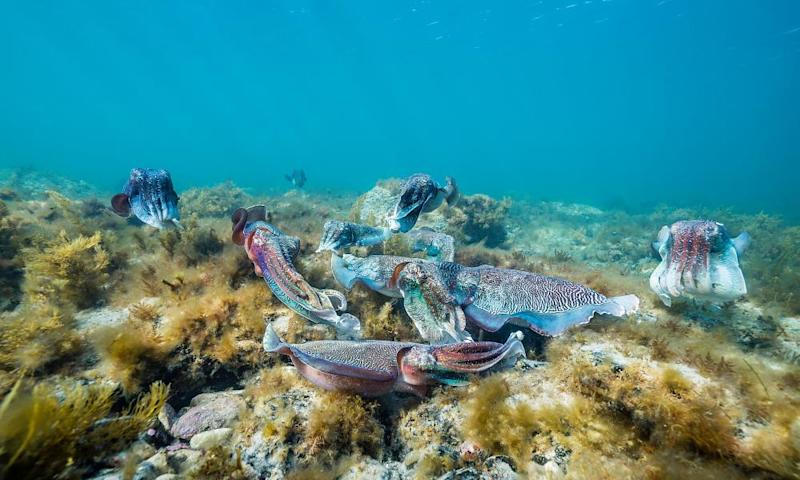 Group of male Australian giant cuttlefish males fighting over a female which is trying to lay her eggs, Point Lowly, South Australia..