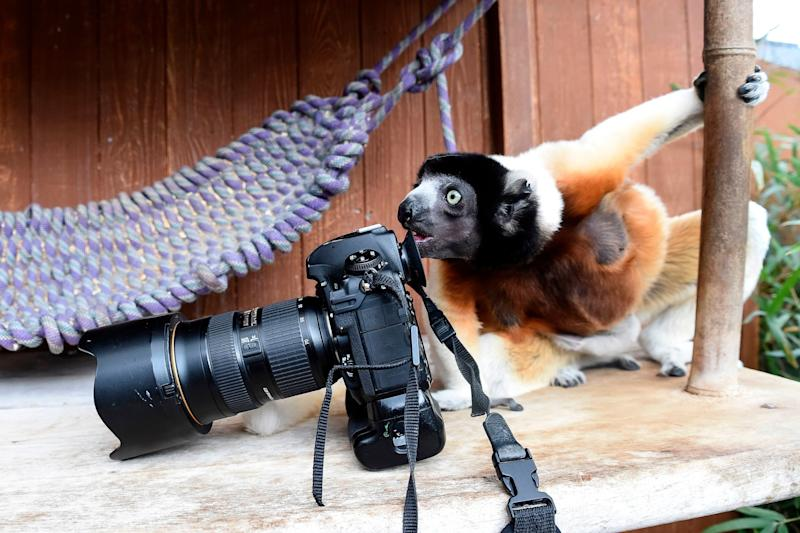 Poppy, a female Crowned sifaka, inspects a photographer's camera in the enclosure at the zoo of Mulhouse, eastern France, on March 5, 2019. - The Crowned sifaka is a critically endangered species from Madagascar. (Photo by SEBASTIEN BOZON / AFP) (Photo credit should read SEBASTIEN BOZON/AFP/Getty Images)