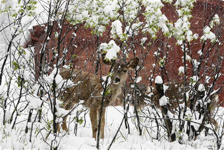A mule deer fawn shelters in a leafed-out shrub during a late spring snow storm in Golden