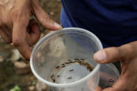 Dumas Galvez, a researcher of the Smithsonian Tropical Research Institute, holds a container with ants he collected from a nest in a forest near his home in Paraiso, Panama, Tuesday, April 13, 2021. With plenty of time to review existing literature on ants during the restrictions due to the COVID-19 pandemic, Galvez found there was relatively little field research on ants. (AP Photo/Arnulfo Franco)