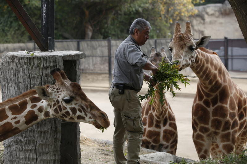 Chapultepec Zoo director zoo director Juan Carlos Sánchez Olmos feeds a giraffe in its enclosure, in Mexico City, Sunday, Dec. 29, 2019. The 96-year-old zoo on the grounds of the capital's central park has a knack for breeding creatures in captivity: This year it welcomed 170 baby animals, including two giraffes, and six Mexican gray wolves, which are in danger of extinction. (AP Photo/Ginnette Riquelme)
