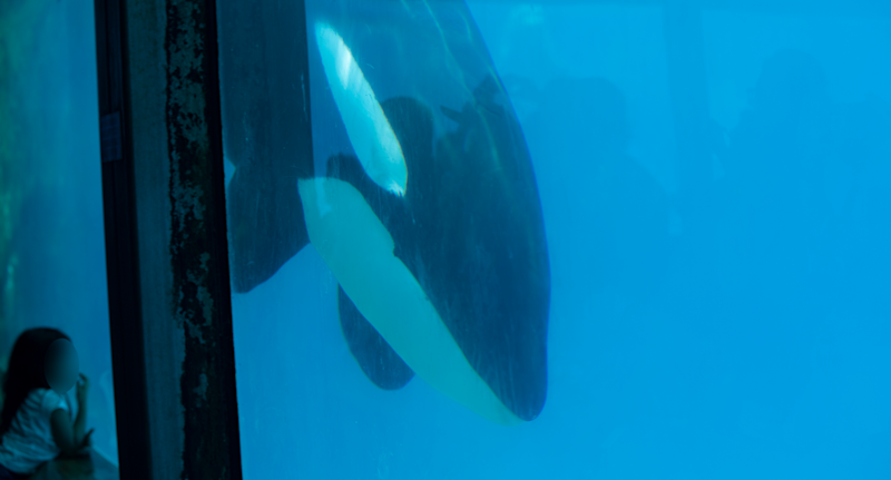 A child looks at Kiska as she swims in her tank.
