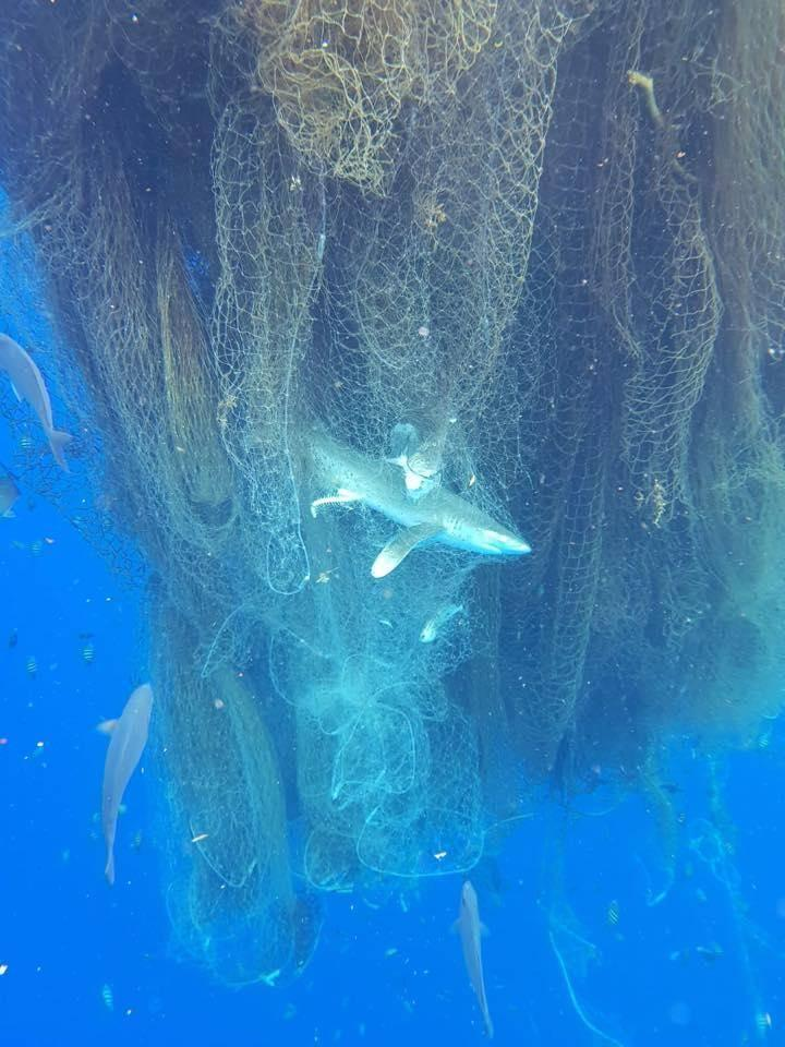 An Oceanic whitetip shark trapped on the edge of the abandoned fishing net (Dominick Martin-Mayes and Pierre Lesieur)