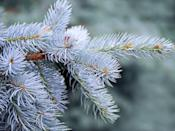 "<p>The appeal of the Colorado Blue Spruce is, as its name suggests, its blue/silvery appearance, perfect for a wintry living room. ""Blue spruce has <strong>stiff branches with sharp needles</strong> so watch out!"" Radin says. ""It's best to wear long sleeves when handling and decorating. If you have nosy pets, this may be a good choice as the irritation from the needles will usually keep them away."" According to the <em>F</em><em>armer's Almanac</em>, <a href=""https://www.farmersalmanac.com/popular-christmas-tree-varieties-29268"" rel=""nofollow noopener"" target=""_blank"" data-ylk=""slk:it has good needle retention"" class=""link rapid-noclick-resp"">it has good needle retention</a>, too.</p>"