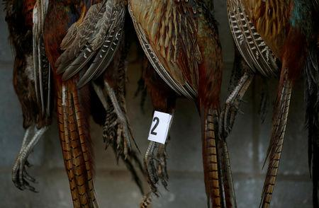 FILE PHOTO: Pheasants wait to be sold during the Christmas turkey and poultry auction at Chelford Market in Chelford, Britain December 21, 2016. REUTERS/Phil Noble/File Photo