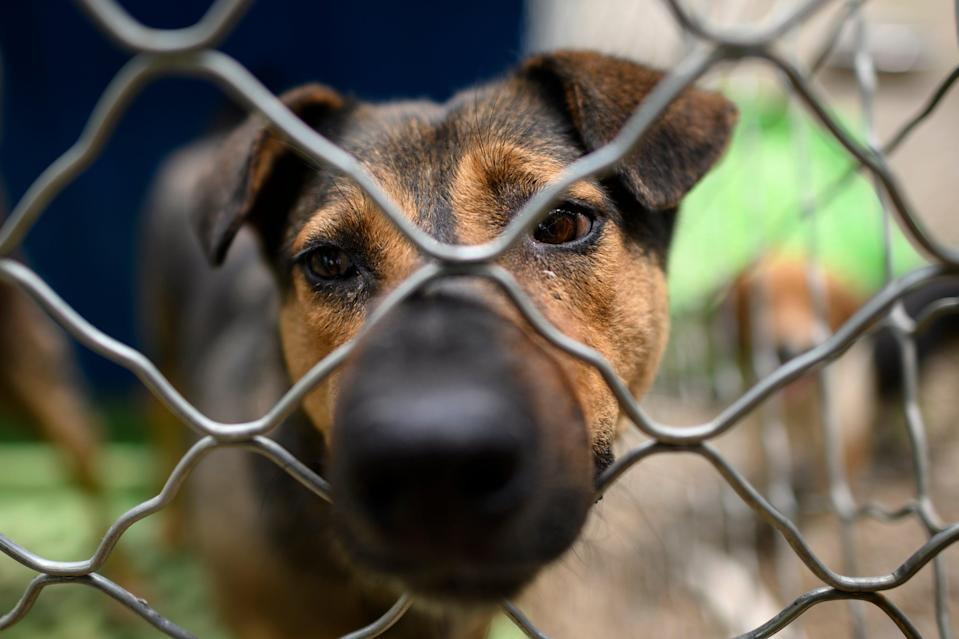 Up to 5,000 dogs are butchered annually at the Yulin Dog Meat festival in June (AFP via Getty Images)