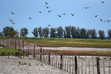 Birds fly over a flooded field that had been used to plant soy near Norberto de la Riestra, Argentina, January 8, 2019. Picture taken January 8, 2019. REUTERS/Marcos Brindicci