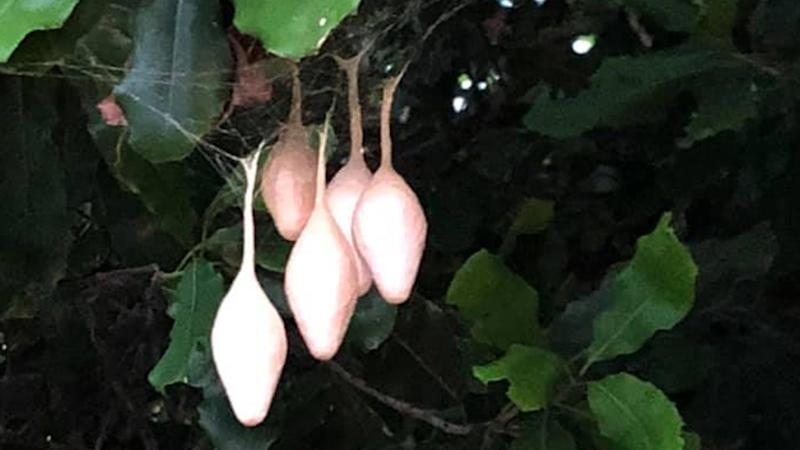 A Queensland resident asked for help identifying the weird pod-like things they found hanging in their backyard. Source: Facebook