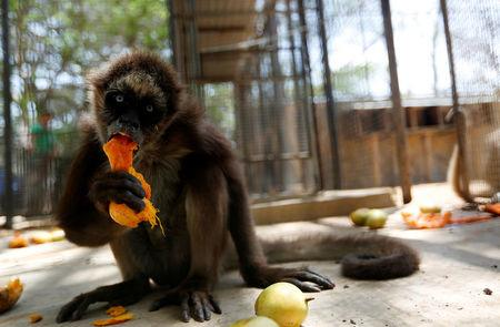 A spider monkey eats a mango at the Paraguana zoo in Punto Fijo, Venezuela July 22, 2016. REUTERS/Carlos Jasso