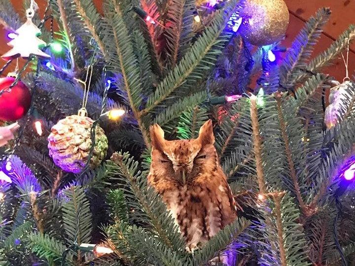 The Eastern screech owl had taken refuge inside the branches of the Newmans' Christmas tree: Katie McBride Newman