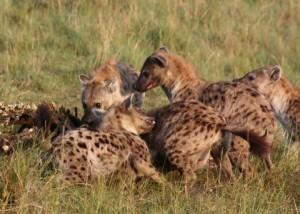 While picking at the bones of a hippo carcass, one hyena takes a quick break to attack another.