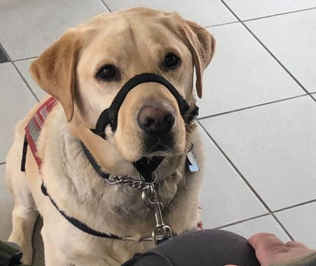 Alder the service dog awaits instructions from his master, Cody Richards.