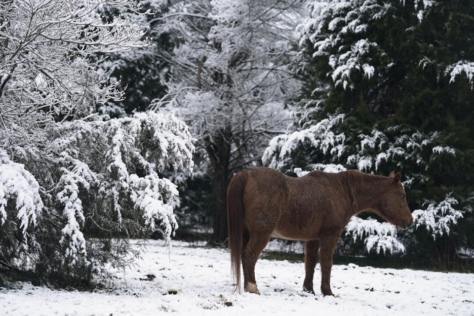 FILE - A horse stands in a snowy scene following an early morning snowfall in rural Orange County near Hillsborough, N.C., Jan. 28, 2021. With leafy branches in winter, evergreens are especially good at catching snow, which can be bent, even broken by a heavy snow load. (AP Photo/Gerry Broome, File)