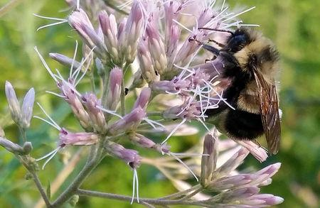 File Photo: A rusty patched bumble bee