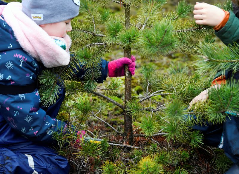 Children saw their chosen Christmas tree before taking it home for free at The Dutch Hoge Veluwe National Park in Otterlo