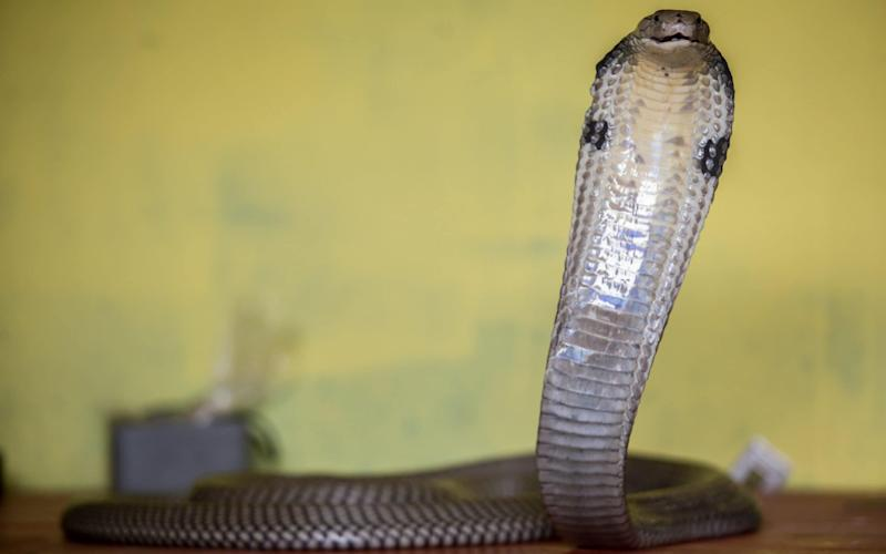 The man allegedly let a cobra loose in his wife's room, two months after letting a viper loose - Graham Crouch/Graham Crouch