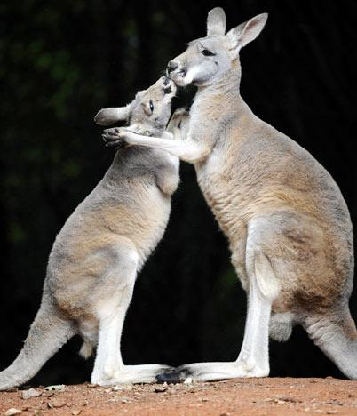 Two kangaroos appear to kiss at the zoo in the northern German city of Hanover on August 15, 2008. The zoo held an animal Olympic games to coincide with the Olympic games in Beijing. AFP PHOTO DDP / NIGEL TREBLIN