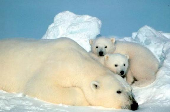 Lasers Could Help Protect Polar-Bear Dens from Oil Drilling