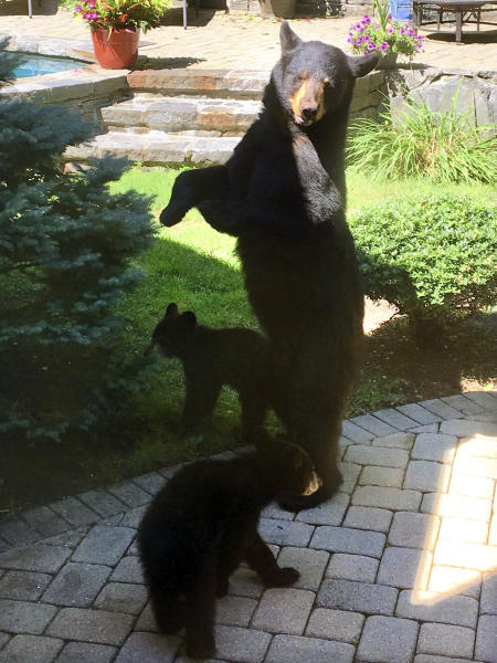 In this July 18, 2018 photo provided by Julie Sonlin, a mother black bear and her cubs explore the yard of Steve and Julie Sonlin in Avon, Conn. The Sonlins said they get visits from bears several times a year and the state reports that human encounters with bears are on the rise. (Julie Sonlin via AP)