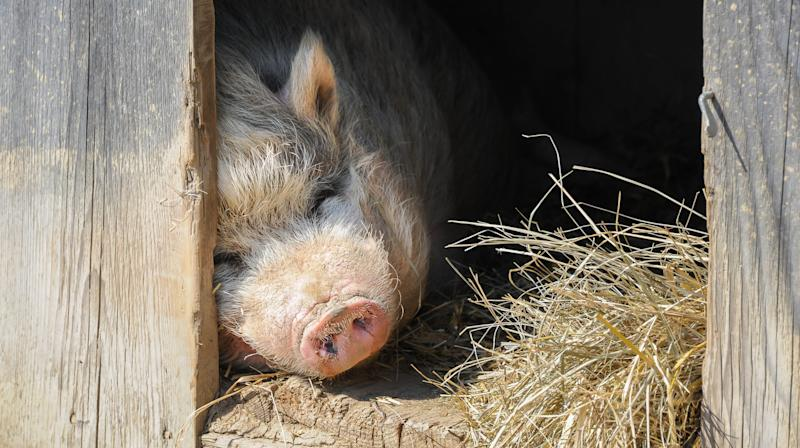 Couple Adopts Pet Pig From Animal Shelter Only To Kill And Eat Her