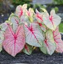 <p>The leaves on the <span>Caladium White Queen Bulbs</span> ($4) grow pink and turn white with maturity - how cool! </p>