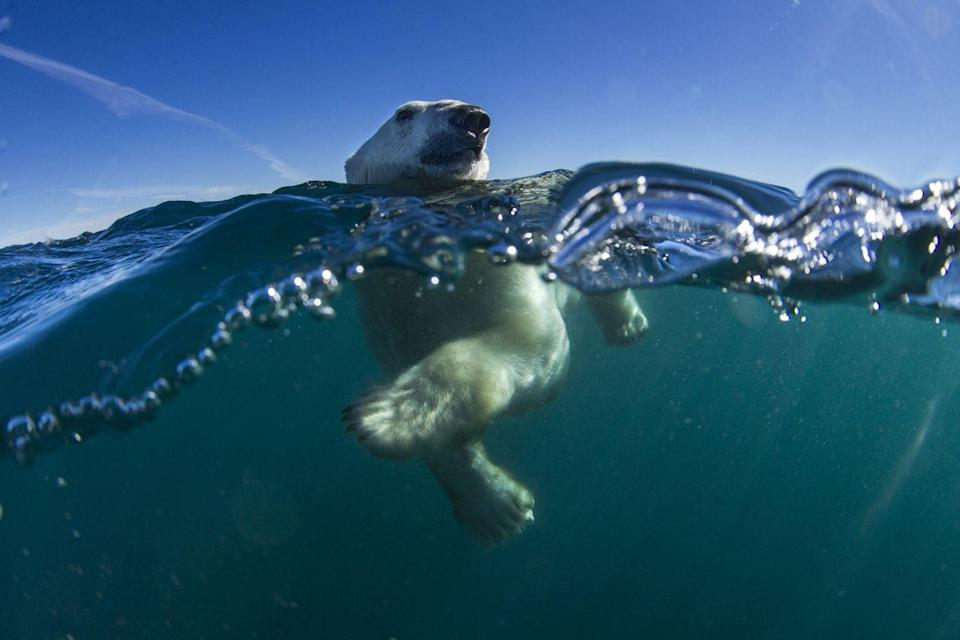 <p>If necessary, polar bears can just keep swimming for days at a time in order to find food. They can hold their breath for up to 2 minutes and their nostrils automatically seal shut in order to prevent them from ingesting water. </p><p>They're also such adept swimmers because they're physiology was designed to navigate water—according to the WWF their giant paws help them paddle and move along while they hold their hind legs flat and use them as a rudder.</p>