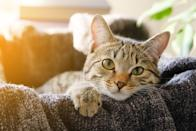 Domestic Cat Lies in a Basket with a Knitted Blanket, Looking At the Camera. Tinted Photo.