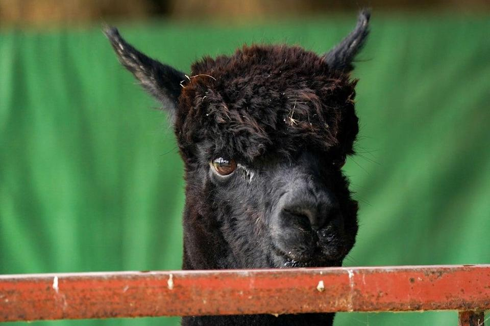 Geronimo the alpaca at Shepherds Close Farm in Wooton Under Edge, Gloucestershire (PA) (PA Wire)