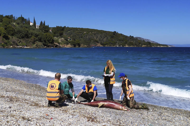 """In this photo provided by Archipelagos Institute of Marine Conservation members of Aechpelagos institute inspect a dead dolphin at a beach of Samos island, Aegean sea, Greece, on Sunday, March 24, 2019. A Greek marine conservation group says a """"very unusual"""" number of Aegean Sea dolphin deaths over recent weeks may be linked with recent Turkish naval exercises in the area. A total 15 dead dolphins have washed up on the eastern island of Samos and other parts of Greece's Aegean coastline since late February, according to the Archipelagos Institute.(Anastassia Miliou /Archipelagos via AP)"""