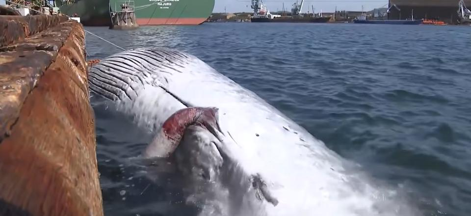The whale caught on the bow of the tanker. Source: Newsflash/Australscope