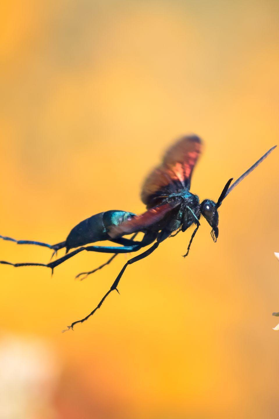 """<p>Don't let the name fool you—it's not a spider or a bird. It's actually a wasp. But this insect leaves one of the most painful bug bites. According to entomologist Justin Schmidt, who created the """"Schmidt sting pain index"""" to measure the severity of bug bites, on a scale of 1 to 4, the tarantula hawk is one of just two insects that scores a 4.</p>"""
