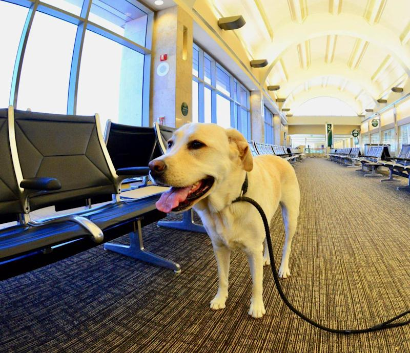 Labrador retriever at the airport (istock/Getty Images)