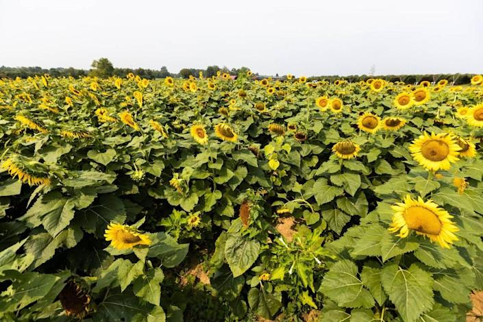 A field of sunflowers were available for visitors to walk through at Eckert's Orchard in Versailles, July 29, 2021.