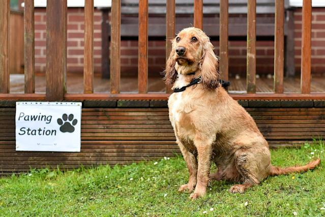 <p>Dougie the Cocker Spaniel sits beside a sign reading 'Pawing Station' outside a polling station on June 8, 2017 in Stalybridge, Greater Manchester, United Kingdom. (Photo: Anthony Devlin/Getty Images) </p>