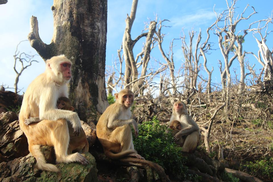 Female rhesus macaques and their infants sitting close to one another in a bare landscape on Cayo Santiago