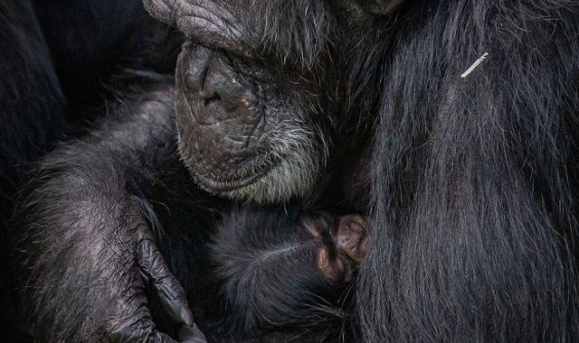 Birth of endangered western chimpanzee at Chester Zoo 'hugely significant'