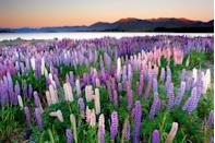<p>The Russell Lupins are in full bloom at Lake Tekapo. So many shades of purple!</p>