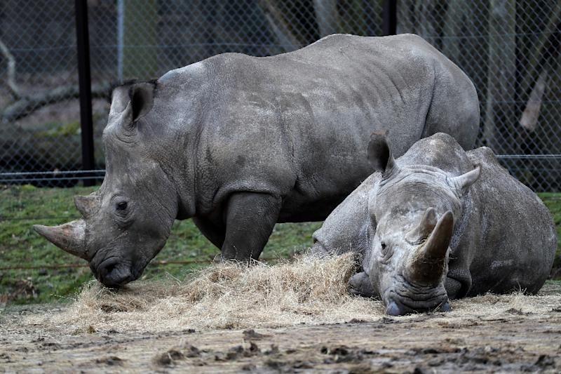 Rhinos Bruno (L) and Gracie are seen at a zoo in Thoiry, France March 8, 2017, a day after intruders shot dead a white rhino named Vince and hacked off its horns in the same area