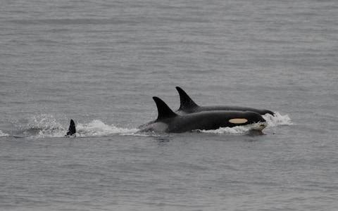 Researchers say they are immensely relieved to see J35 returning to typical behaviour - Credit: Center for Whale Research