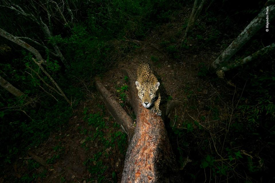 "<p><strong>""El árbol de las firmas""</strong>, de Alejandro Prieto. Un jaguar afila sus garras rascando un árbol y dejando unas marcas sobre el tronco que sirven de advertencia a otros animales en una jungla de la Sierra de Vallejo (México). (Foto: Alejandro Prieto / Wildlife Photographer of the Year). </p>"