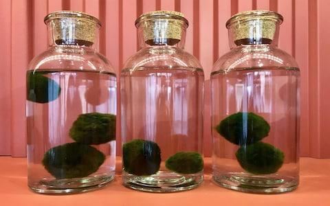 Marimo balls for sale in London Terrariums - Credit: Emma Sibley