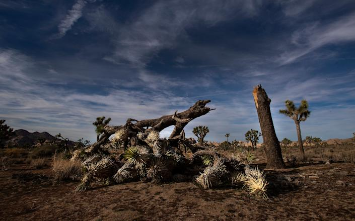 A once vibrant Joshua tree, felled in an act of vandalism in Joshua Tree National Park in California. (Photo: Gina Ferazzi via Getty Images)