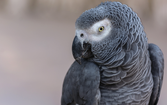 Woman found guilty of murdering husband after it was witnessed by parrot